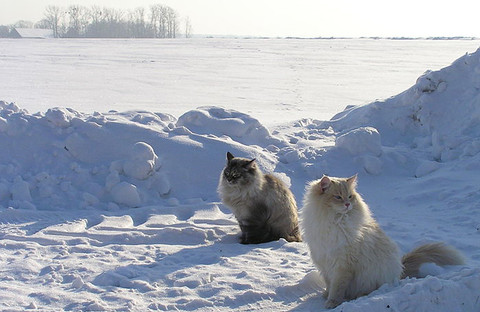 Cats_in_snow