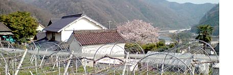 47sakura