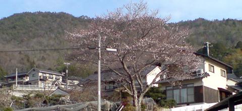 0407sakura_2
