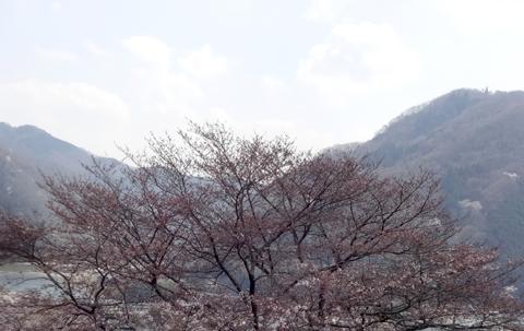 0331sakura