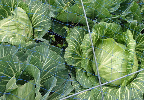 0425cabbage