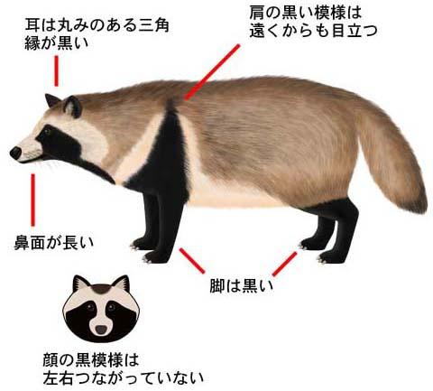 C_tanuki_2