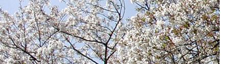 414sakura