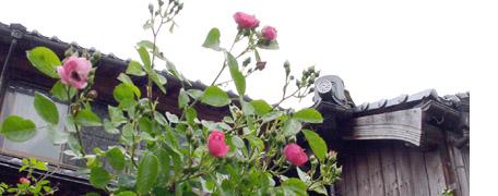 Rose2_1