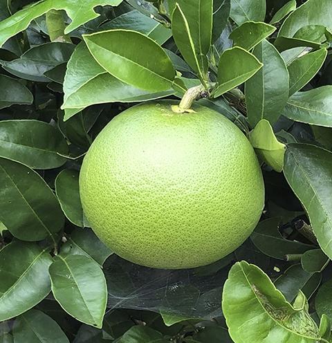 1006grapefruit